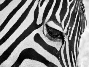 black-and-white-zebra-close-up-pierre-leclerc